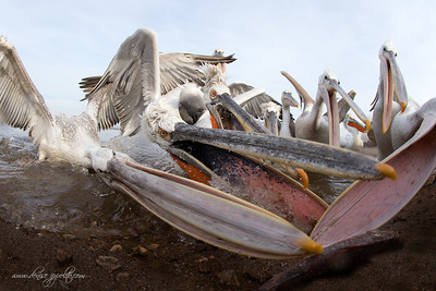 _V5R4542Dalmatian-Pelicans,-Greece