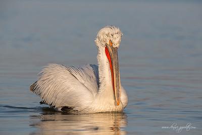 _65C6479Dalmatian-Pelicans,-Greece