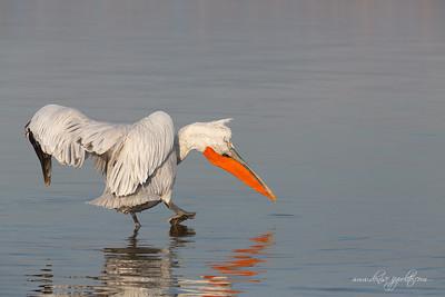 _65C1453Dalmatian-Pelicans,-Greece