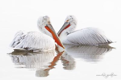 _65C1074Dalmatian-Pelicans,-Greece