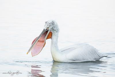 _65C6503Dalmatian-Pelicans,-Greecex