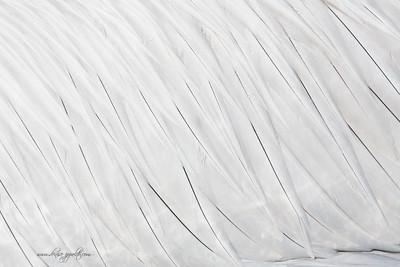 _65C8837Dalmatian-Pelicans,-Greece