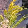 Is it goldenrod?