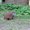 Took a walk in a nature center.  Could this be the Packer mascot?  I think it's a ground hog.  We don't have these in Texas, far as I know.