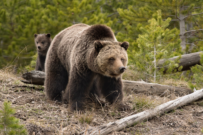 Little grizzly cub peeks out from behind mom.