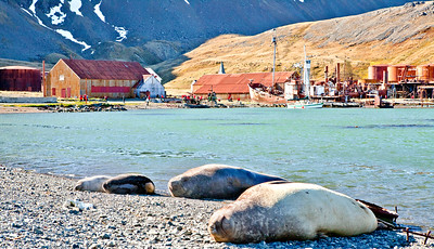 GR110   Southern Elephant Seals.  Male elephant seals may weigh up to 10,000 lbs; the females are a mere 1800 lbs.  The males are the largest seals in the world.