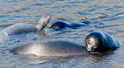 """GR127    Elephant pup seals.  Three weeks after birth, the """"weaners"""" can weigh 400 lbs."""