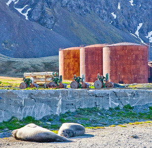GR120    Whale oil tanks,  Southern Elephant Seals.  Male elephant seals may weigh up to 10,000 lbs; the females are a mere 1800 lbs.  The males are the largest seals in the world.