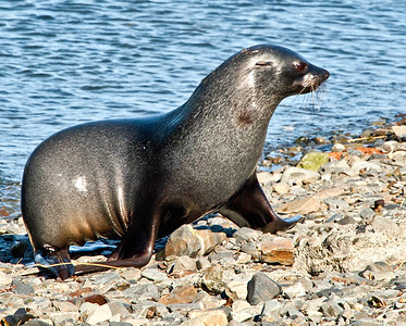 """GR112    Elephant pup seals.  Three weeks after birth, the """"weaners"""" can weigh 400 lbs."""