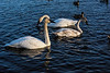 Trumpeter swans in a mixed flock of waterfowl