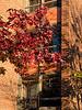 Flaming foliage of a sweetgum tree