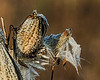 Transitions - frost melting on milkweed pod and floss