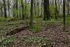 Britton Woods (County Farm Park), full of trillium in bloom