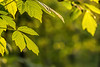 Morning light on box elder leaves