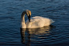 Trumpeter swan in late afternoon light