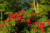Red roses in profusion