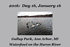 Photo set for January 16, 2016:  Waterfowl feeding on shelled corn