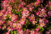 Begonias in an outdoor bed
