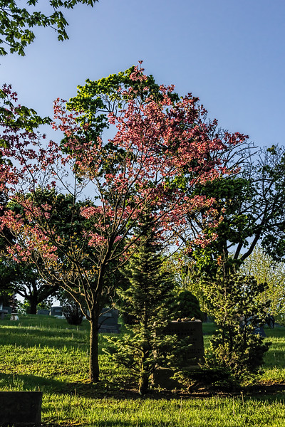 Pink dogwood; Forest Hill Cemetery