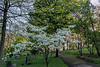 Forest Hill Cemetery in morning light; white dogwood in bloom