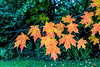 D288-2016  Sugar maple foliage<br /> <br /> County Farm Park, Ann Arbor<br /> Taken October 15, 2016