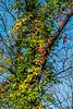 Vines on trees in autumn