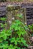 Wild geraniums against a tree stump