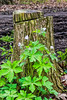 Filtered version (1), Wild geraniums against stump
