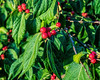 Asian Honeysuckle berries (5x4 AR crop)