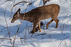 White tail deer in fresh snow