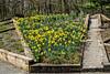 Photomerge of daffodil bed, Perennial Garden, County Farm Park