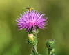 Thistle with pollinating visitor