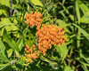 Butterfly Weed, Asclepias tuberosa