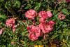 D178-2017<br /> Roses with weird wasp.<br /> <br /> Perennial Garden, Matthaei Botanical Gardens, Ann Arbor<br /> Taken June 27, 2017