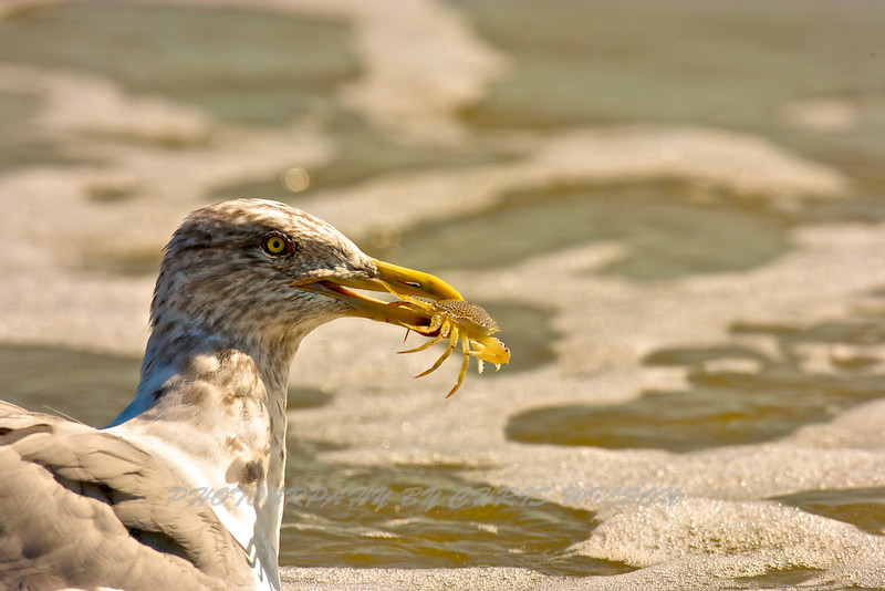 Seagull and Ghost Crab