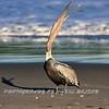 Beach Pelican HDR 4