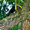 Costa Rican Tucan