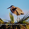 Great Blue Heron NDR 0005