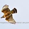 Red Shoulder Hawk HDR 012