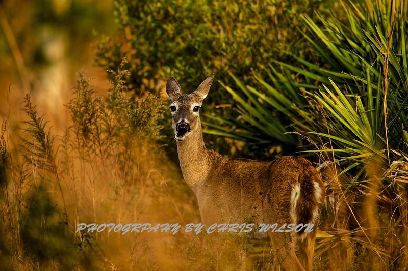 Deer HDR 06