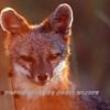 Hatteras Fox