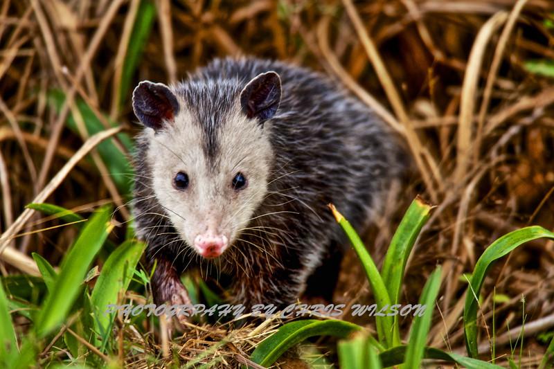 Everglades Possum HDR 1