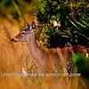 Deer DHR 04