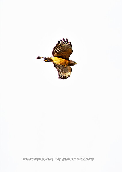 Red Shoulder Hawk HDR 04