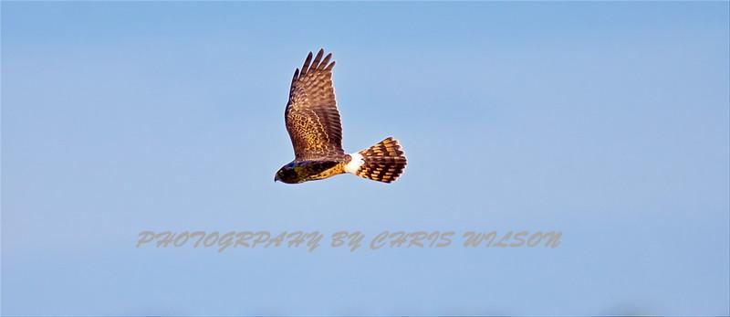 Red Shouldered Hawk HDR 0001