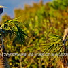 Greaet Blue Heron HDR 0009