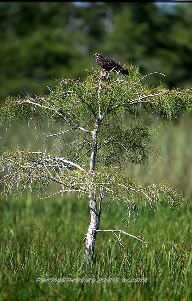 Everglades Snail Hawk