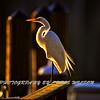White egret HDR 1