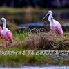 Everglades Spoonbills HDR 2