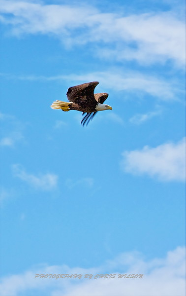 Bald Eagle HDR 04
